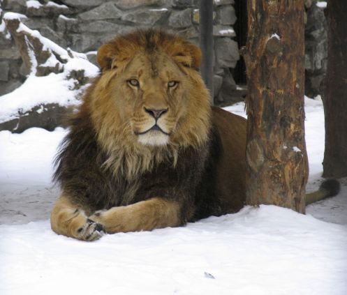 lion-on-the-snow